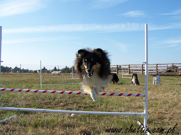 2009_09_25-sheltie_rose3.jpg