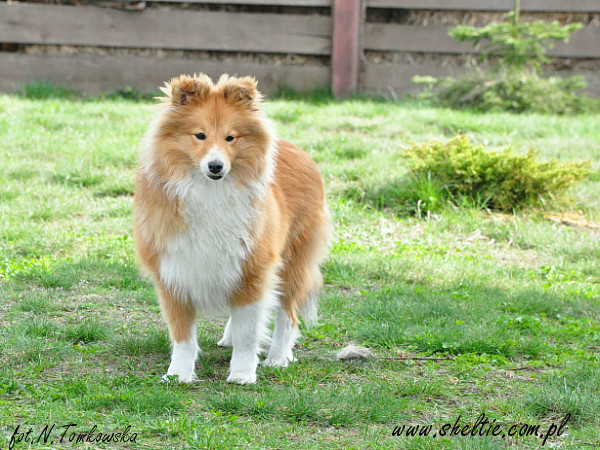 lovesome_sheltie-jecky-2010_04_10-3.jpg