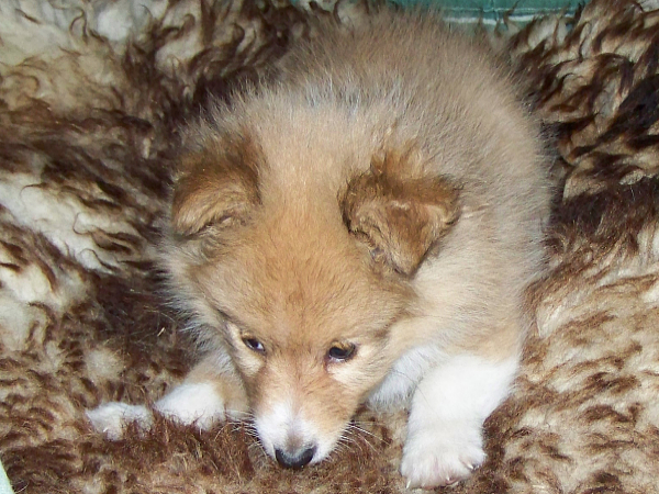 sheltie_cruze8weeks.jpg