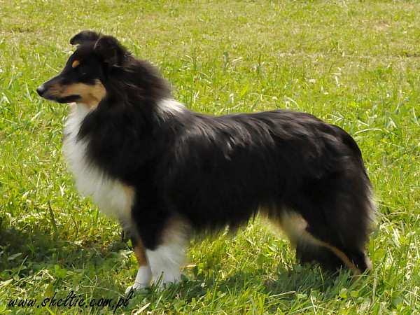 sheltie_lovesome_rose10mths.jpg