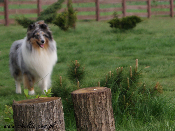 sheltie_merlin2010_05_09-2.jpg