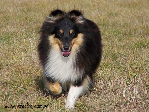 sheltie_rose14mths_2009__11_08(1).jpg