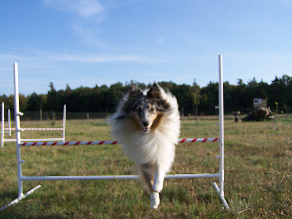 Agility - Lovesome Sheltie - Merlin