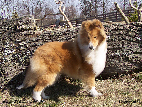 Lovesome Sheltie - Jecky 6,5mths