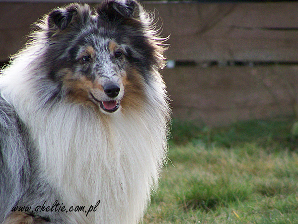 lovesome sheltie merlin