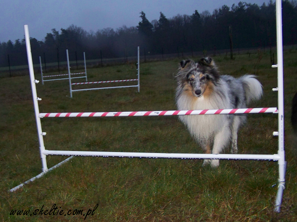 Lovesome Sheltie - Merlin & agility