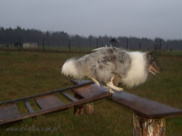 Lovesome Sheltie - agility