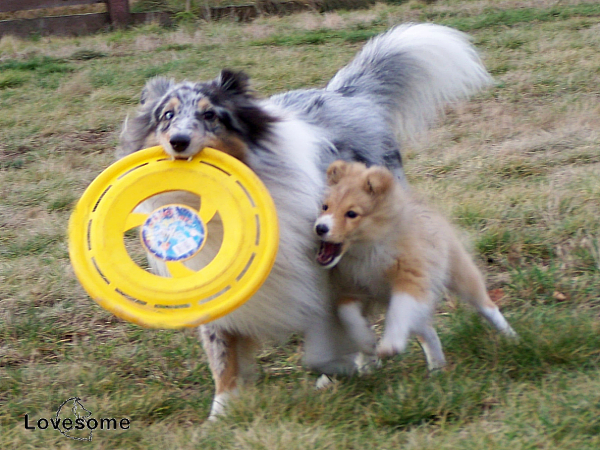 Lovesome Sheltie - Merlin & Jecky