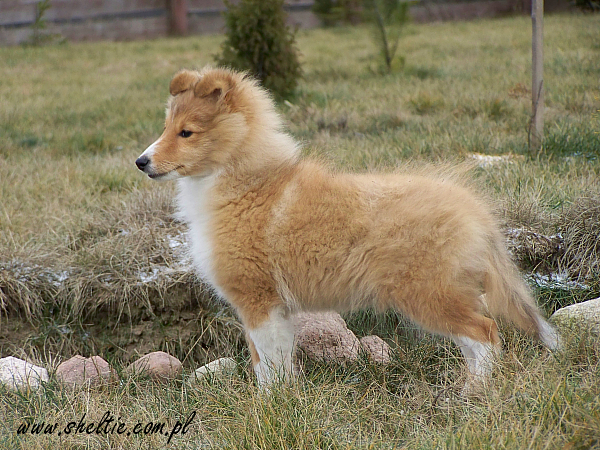 Lovesome Sheltie - Jecky 15 weeks