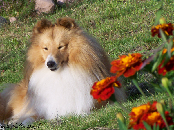 Lovesome Sheltie - Jeckcy 24 mths