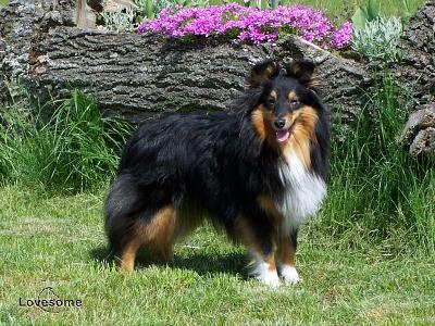Sheltie Lovesome - shetland sheepdog