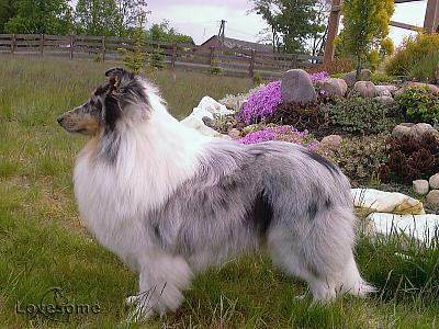 Sheltie Lovesome / shetland sheepdog