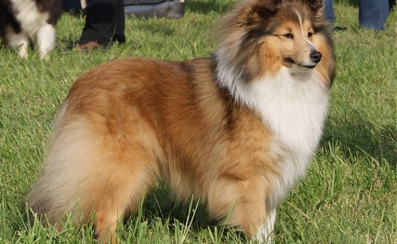 Vivien - Lovesome Sheltie