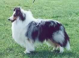 Int Nord Ch Sheltie of the year 2001 Bermarks Drum Major