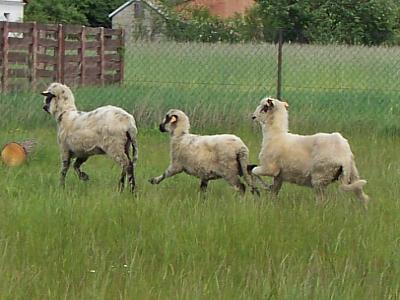Sheltie Lovesome - nasze owieczki