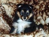 owczrek szetlandzki sheltie (shetland sheepdog) - lovesome sehltie