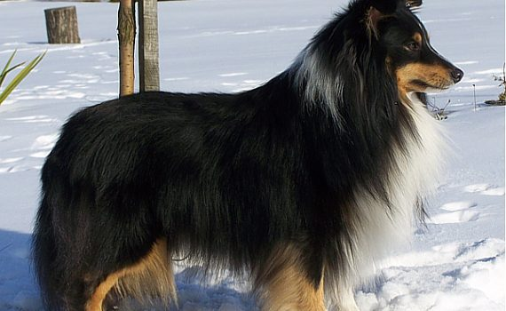 Lovesome sheltie - JIM BEAM Perla z Polabi