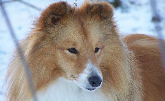 Lovesome sheltie