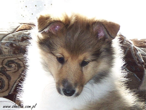 sheltie Lovesome MYSTERIOUS PRINCE - 8weeks