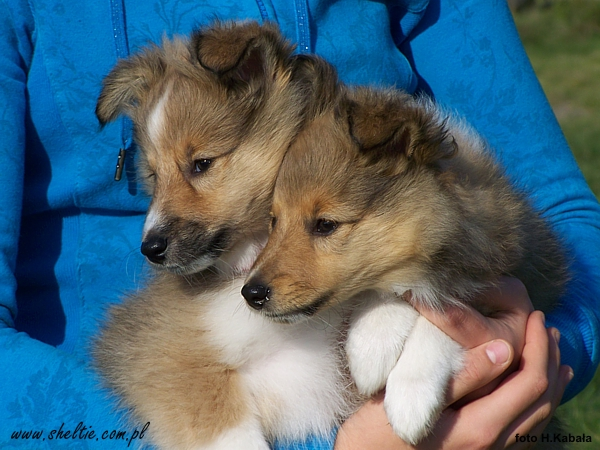 sheltie_Lovesome_MAGICAL_BOY_and_MIDNIGHT_EXPRESS-85weeks2