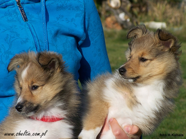 sheltie_Lovesome_MAGICAL_BOY_and_MIDNIGHT_EXPRESS-85weeks3