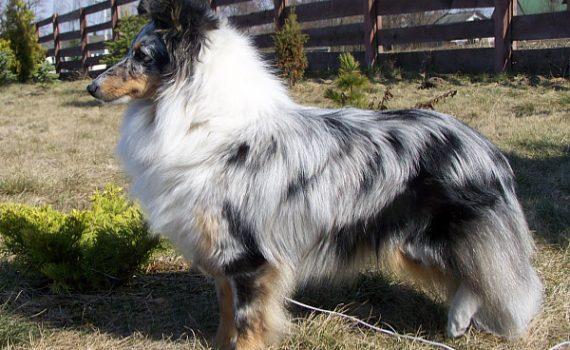 Lovesome Cherie - Owczarek szetlandzki - Sheltie, Shetland Sheepdog