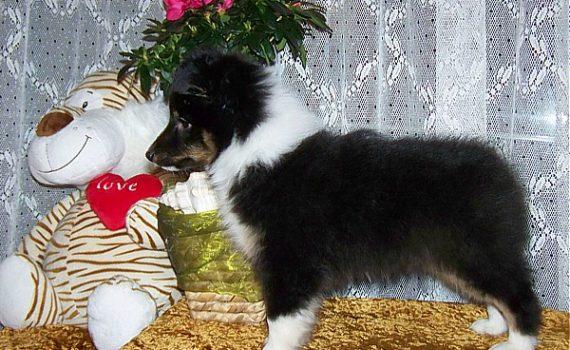 Lovesome JAMAYKA - Owczarek szetlandzki - Sheltie, Shetland Sheepdog