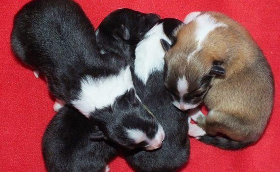 Lovesome A2-litter (Shetland sheepdog)
